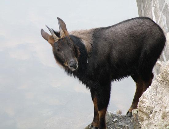 溪口某处深山发现珍稀大型野生动物四不像鬣羚群落 根据一位经验丰富的传统猎人描述,在溪口某处山脉(为防止不法分子枪猎,具体地点不便公布),在一片陡峭的山崖中间生存着一个大约5-10只的鬣羚群落。据这名传统猎人说,他家祖上传下来一直遵循古老的规矩和祖传的狩猎技巧在每年冬天进山狩猎野猪补贴家用,他们家也一直保守着一个秘密:他的一位祖先曾经被困在一处山崖,被困了三天三夜后,所带的茶桶干粮都吃完了,就在昏迷等死之际,一只大如水牛的四不像也就是鬣羚顺着山崖的凸起,灵巧的蹦到他的身边,用舌头舔他的脸和闭着的眼睛,